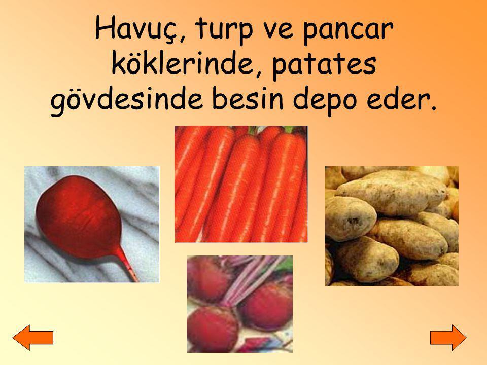 Havuç, turp ve pancar köklerinde, patates gövdesinde besin depo eder.