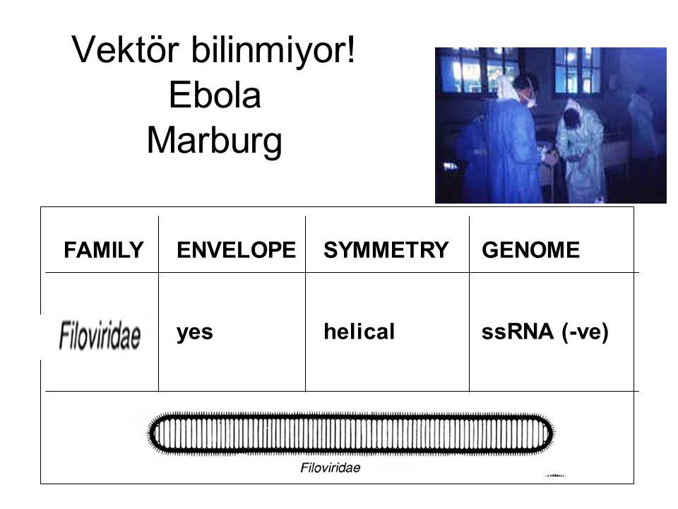 Vektör bilinmiyor! Ebola Marburg