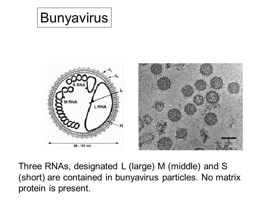 Bunyavirus Three RNAs, designated L (large) M (middle) and S (short) are contained in bunyavirus particles.