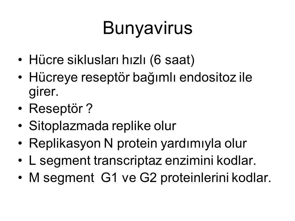 Bunyavirus Hücre siklusları hızlı (6 saat)