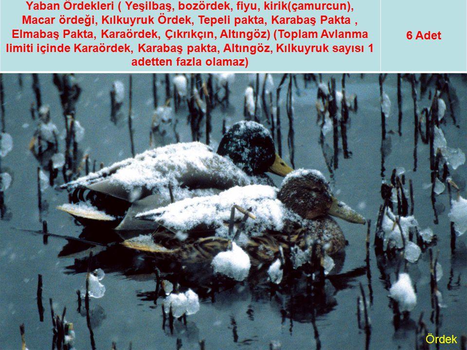 Yaban Ördekleri ( Yeşilbaş, bozördek, fiyu, kirik(çamurcun),