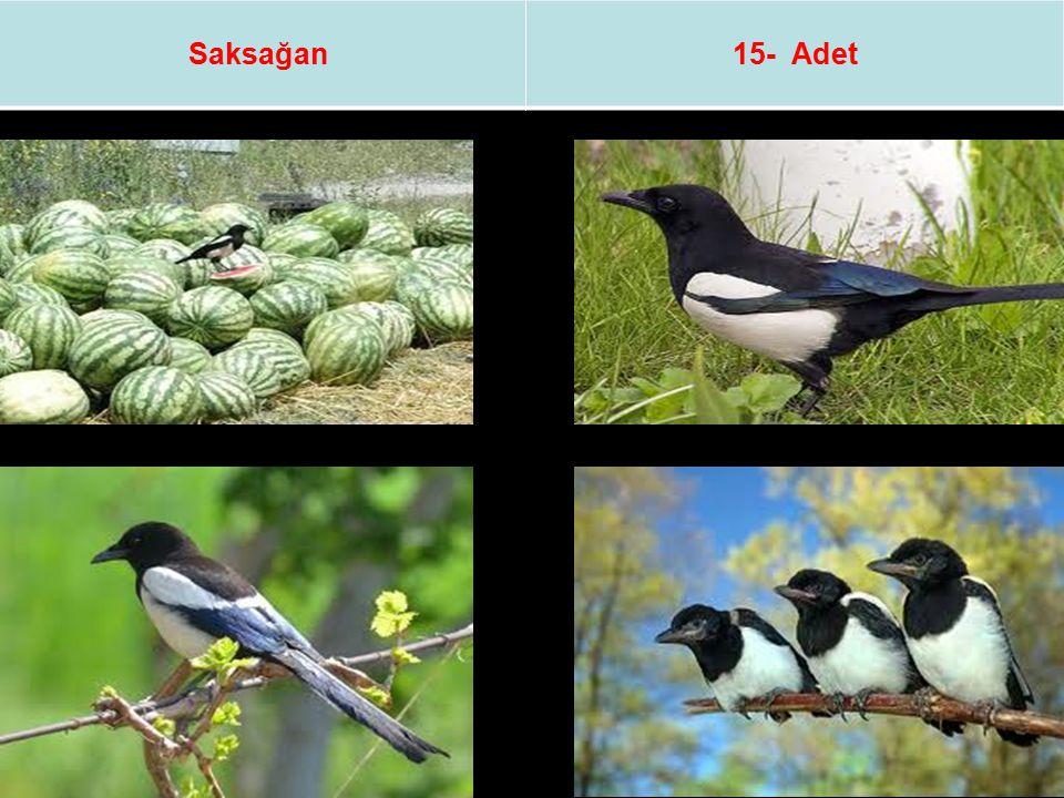 Saksağan 15- Adet