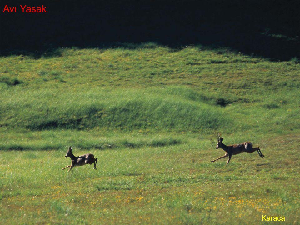 Avı Yasak Karaca
