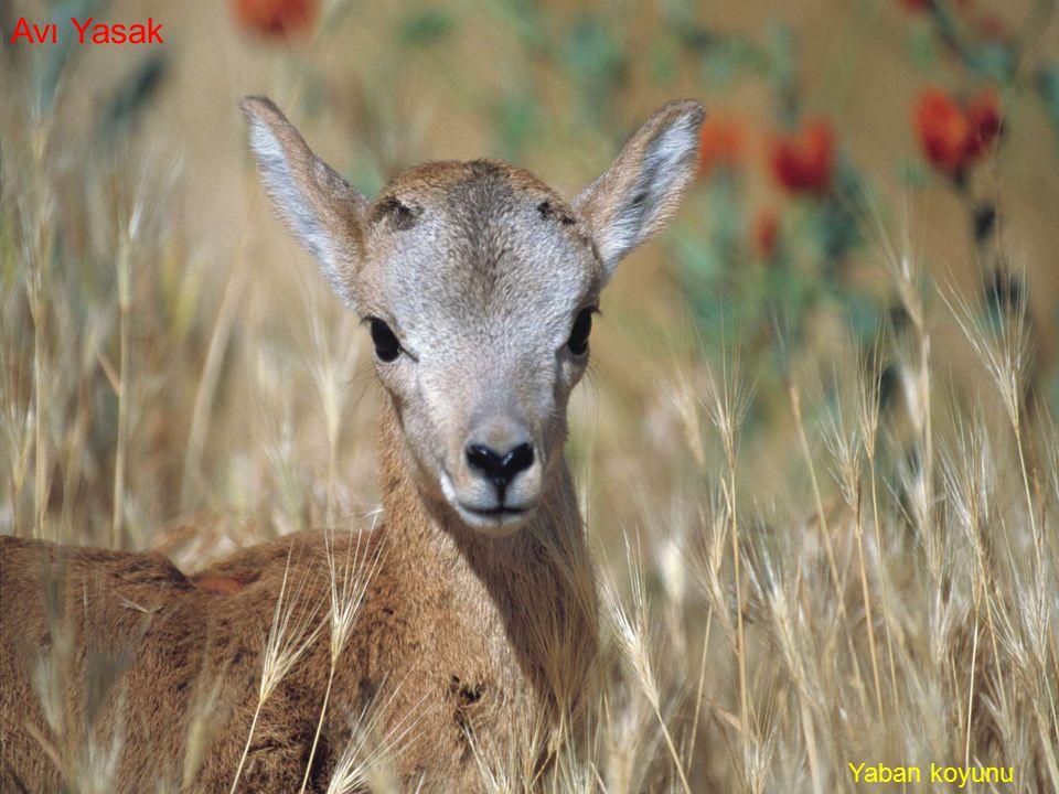 Avı Yasak Yaban koyunu