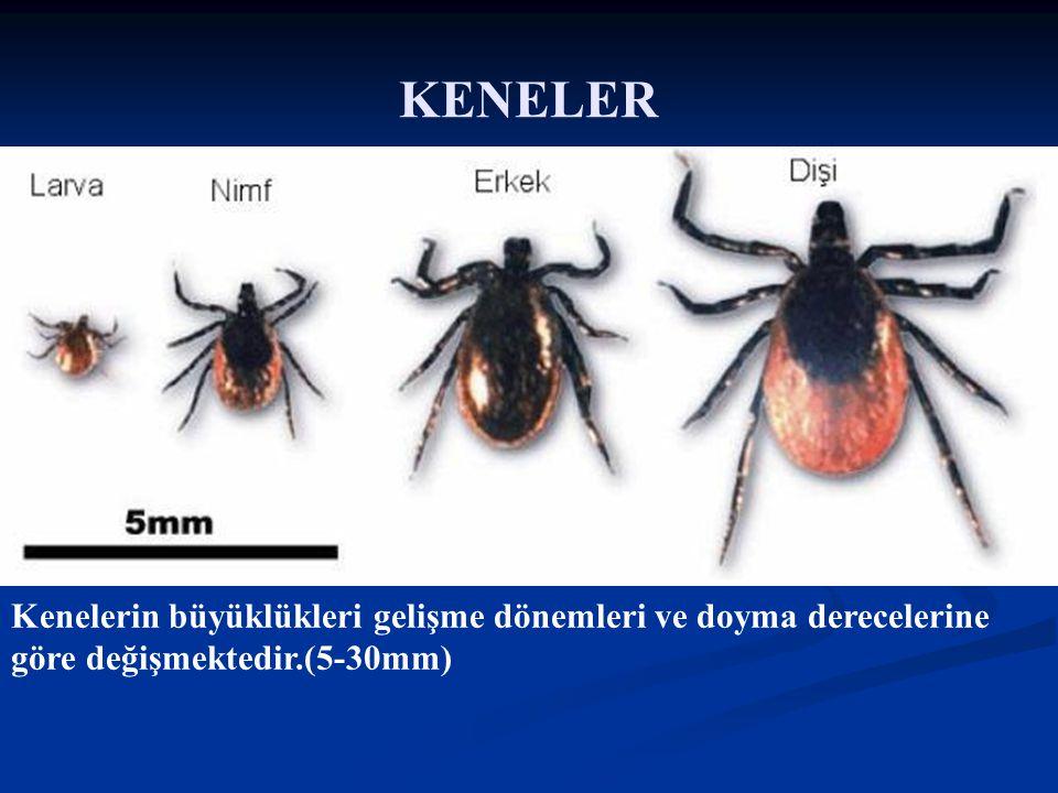KENELER Kenelerin büyüklükleri gelişme dönemleri ve doyma derecelerine göre değişmektedir.(5-30mm)