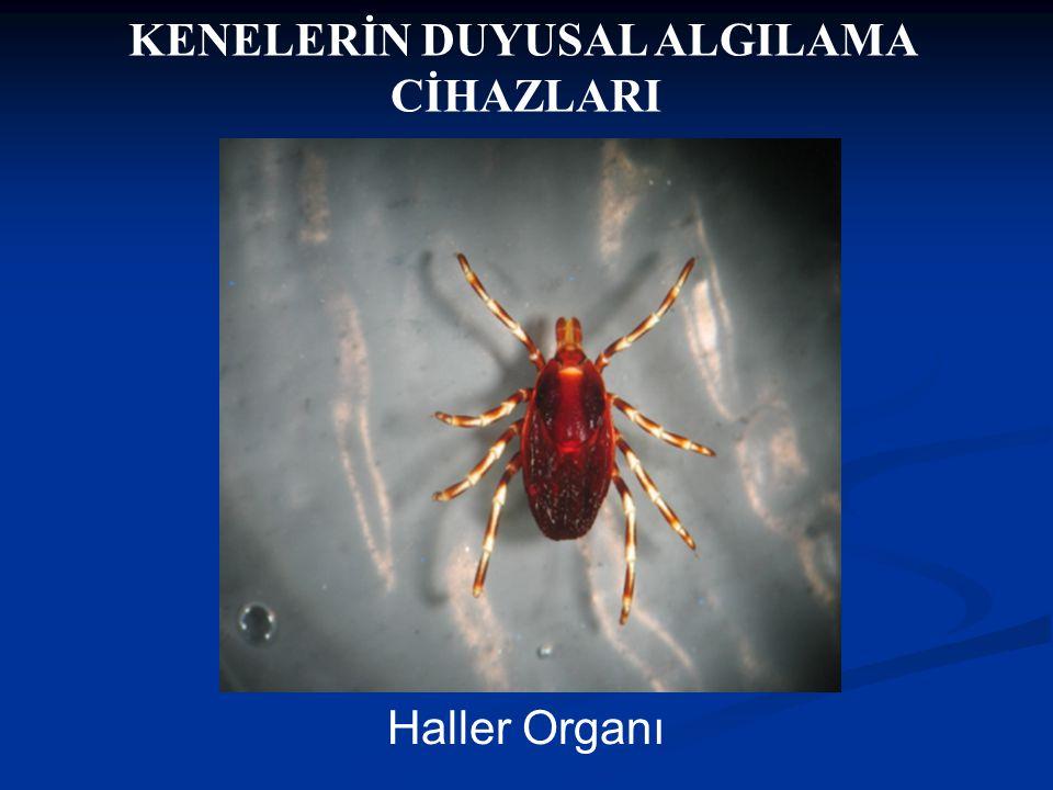 KENELERİN DUYUSAL ALGILAMA