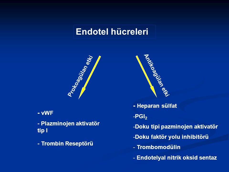 Endotel hücreleri - Heparan sülfat - vWF Prokoagülan etki