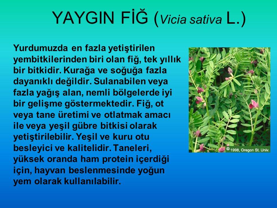 YAYGIN FİĞ (Vicia sativa L.)