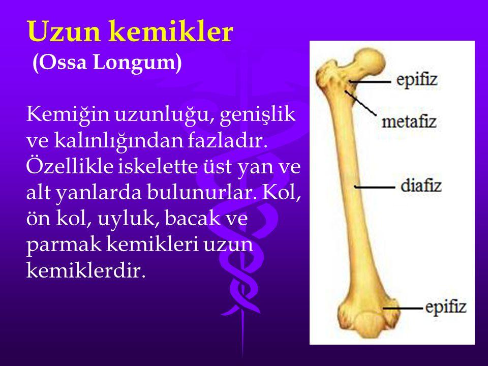 Uzun kemikler (Ossa Longum)