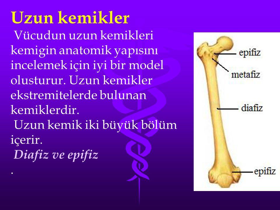 Uzun kemikler Vücudun uzun kemikleri kemigin anatomik yapısını incelemek için iyi bir model olusturur. Uzun kemikler ekstremitelerde bulunan.