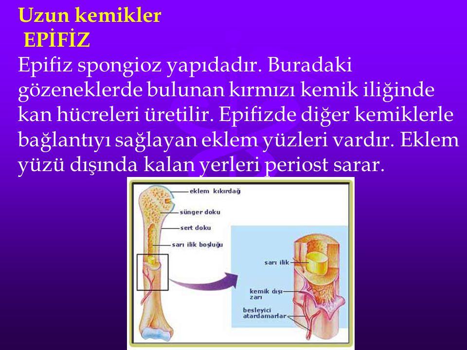 Uzun kemikler EPİFİZ.