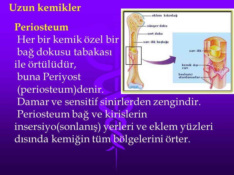 Uzun kemikler Periosteum. Her bir kemik özel bir. bağ dokusu tabakası. ile örtülüdür, buna Periyost.