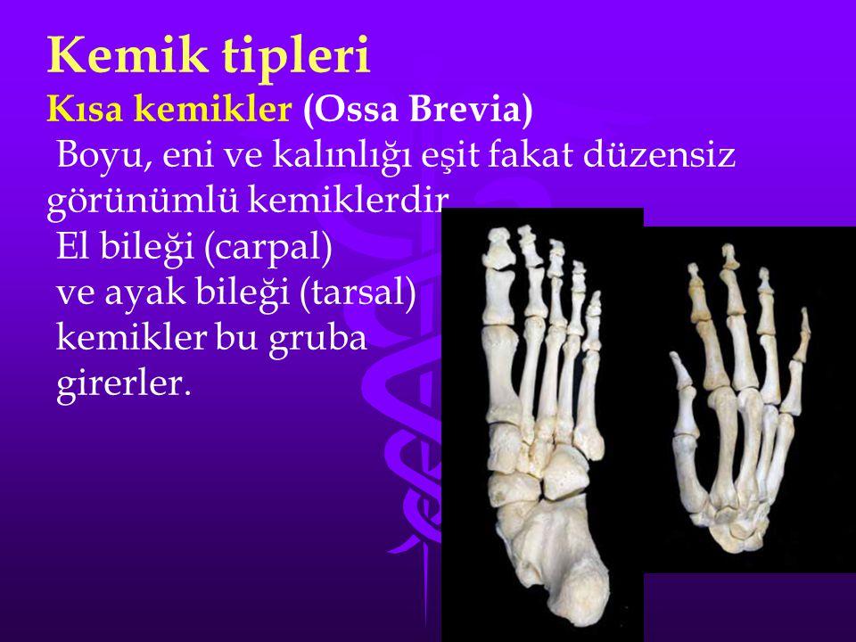 Kemik tipleri Kısa kemikler (Ossa Brevia)