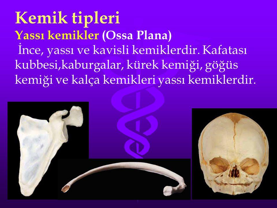 Kemik tipleri Yassı kemikler (Ossa Plana)