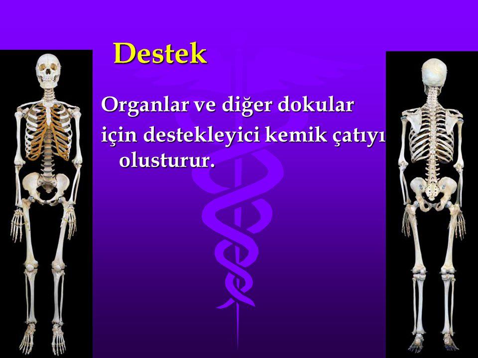 Destek Organlar ve diğer dokular için destekleyici kemik çatıyı olusturur.