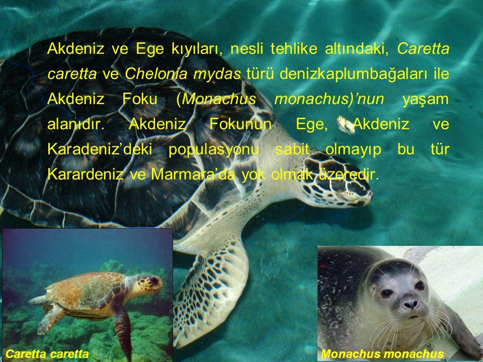 Akdeniz ve Ege kıyıları, nesli tehlike altındaki, Caretta caretta ve Chelonia mydas türü denizkaplumbağaları ile Akdeniz Foku (Monachus monachus)'nun yaşam alanıdır. Akdeniz Fokunun Ege, Akdeniz ve Karadeniz'deki populasyonu sabit olmayıp bu tür Karardeniz ve Marmara'da yok olmak üzeredir.