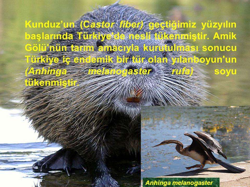 Kunduz'un (Castor fiber) geçtiğimiz yüzyılın başlarında Türkiye de nesli tükenmiştir. Amik Gölü nün tarım amacıyla kurutulması sonucu Türkiye iç endemik bir tür olan yılanboyun un (Anhinga melanogaster rufa) soyu tükenmiştir.