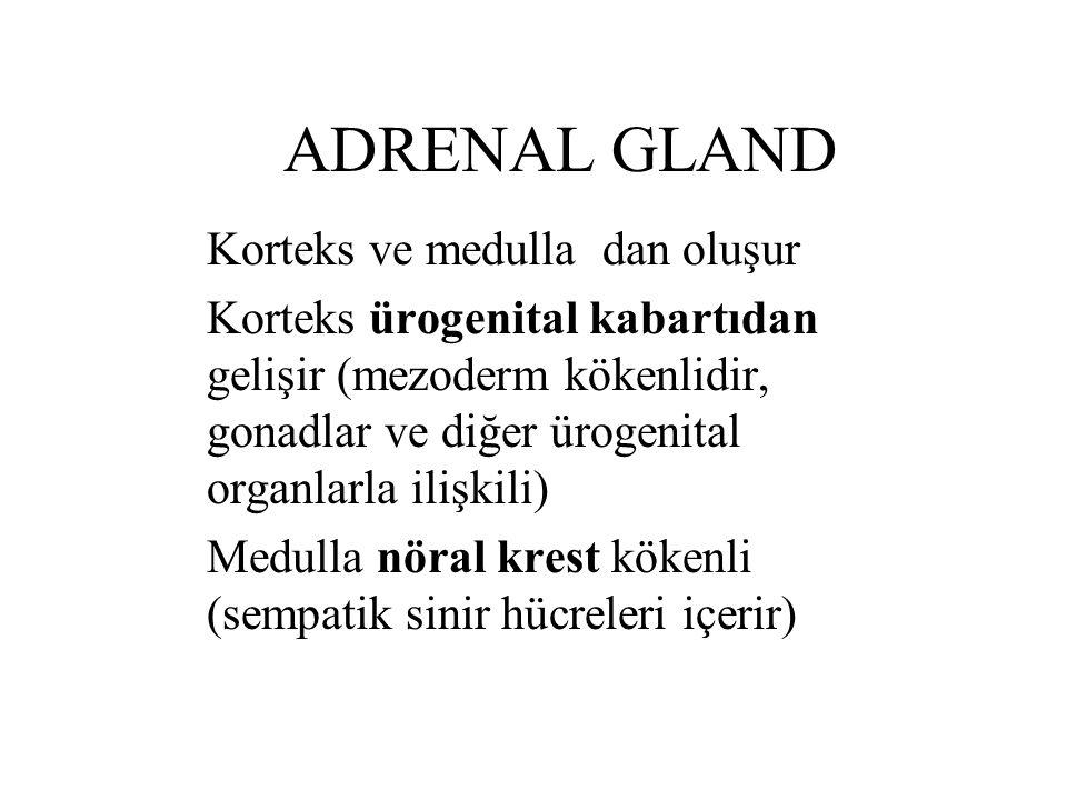 ADRENAL GLAND Korteks ve medulla dan oluşur