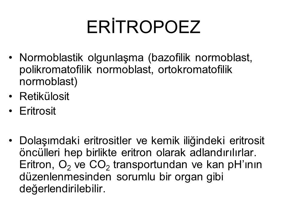 ERİTROPOEZ Normoblastik olgunlaşma (bazofilik normoblast, polikromatofilik normoblast, ortokromatofilik normoblast)