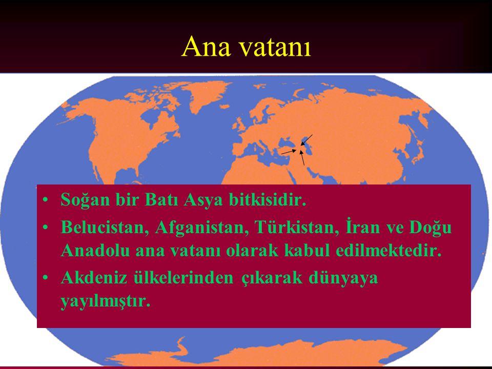 Ana vatanı Soğan bir Batı Asya bitkisidir.