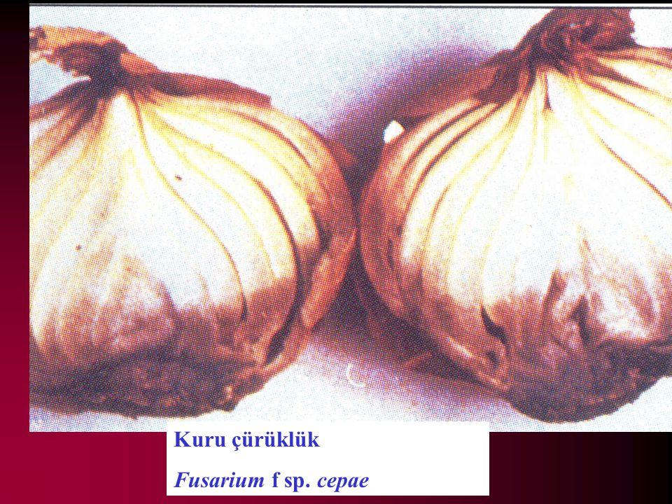 Kuru çürüklük Fusarium f sp. cepae