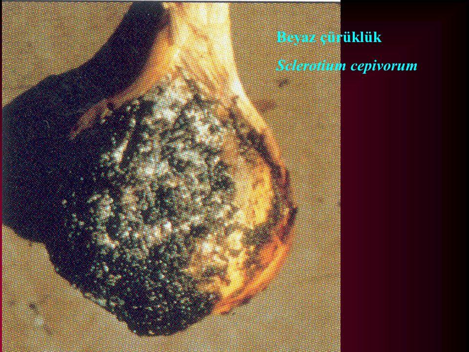 Beyaz çürüklük Sclerotium cepivorum