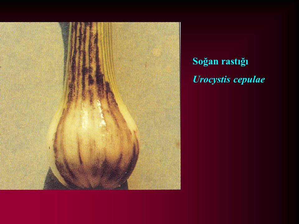 Soğan rastığı Urocystis cepulae