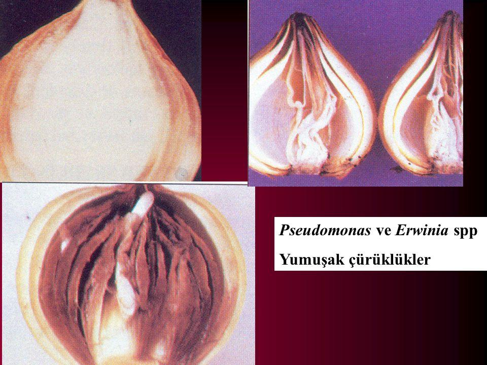 Pseudomonas ve Erwinia spp