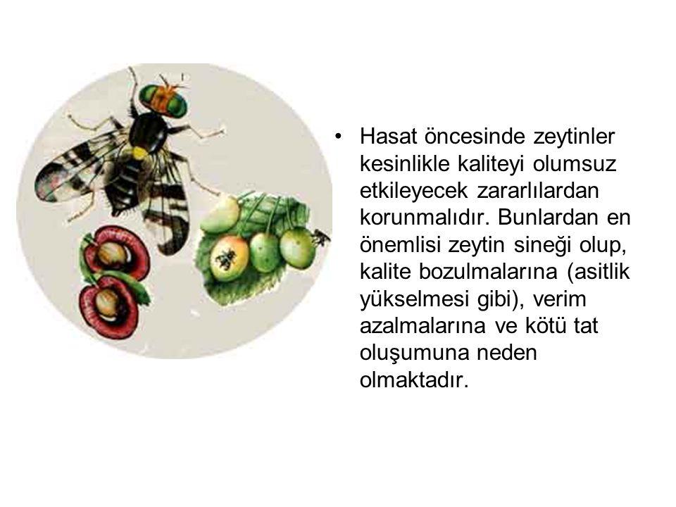 Hasat öncesinde zeytinler kesinlikle kaliteyi olumsuz etkileyecek zararlılardan korunmalıdır.