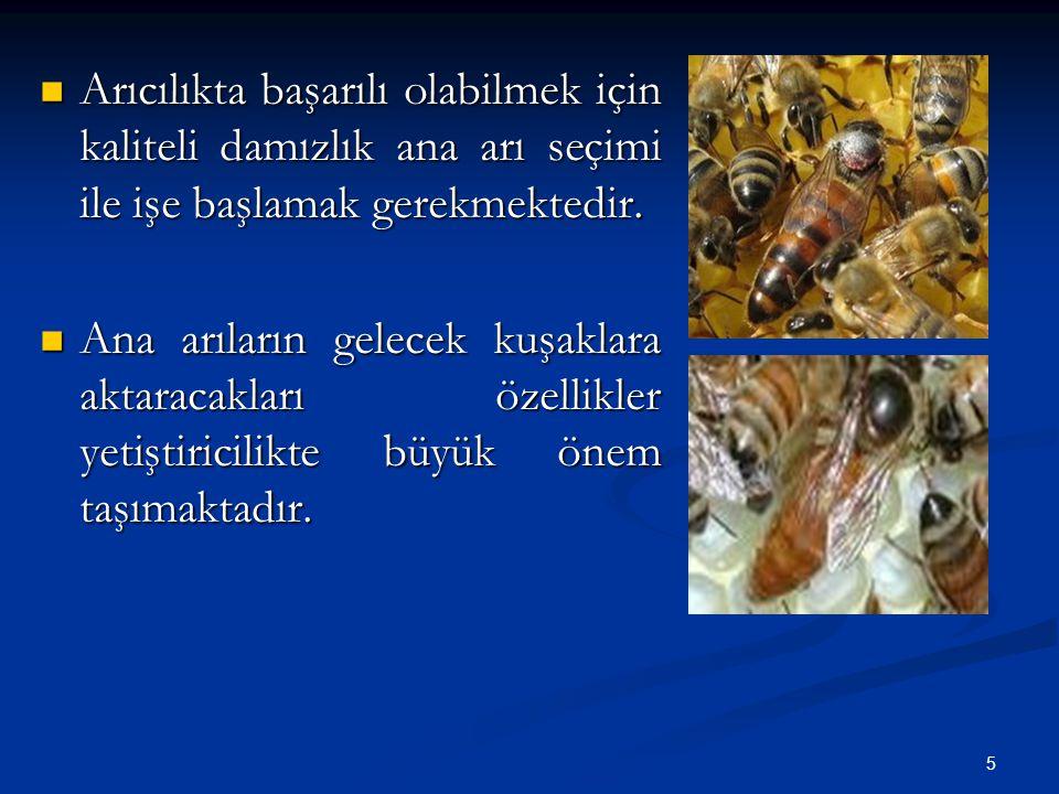 Arıcılıkta başarılı olabilmek için kaliteli damızlık ana arı seçimi ile işe başlamak gerekmektedir.
