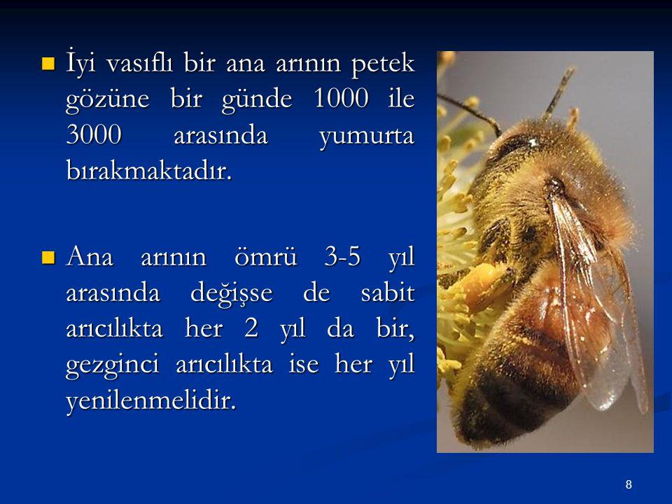 İyi vasıflı bir ana arının petek gözüne bir günde 1000 ile 3000 arasında yumurta bırakmaktadır.