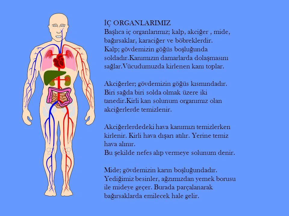 İÇ ORGANLARIMIZ Başlıca iç organlarımız; kalp, akciğer , mide, bağırsaklar, karaciğer ve böbreklerdir.