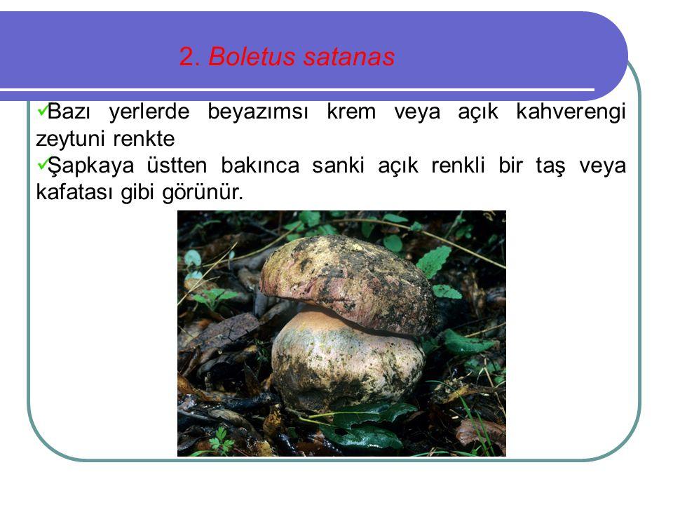 2. Boletus satanas Bazı yerlerde beyazımsı krem veya açık kahverengi zeytuni renkte.