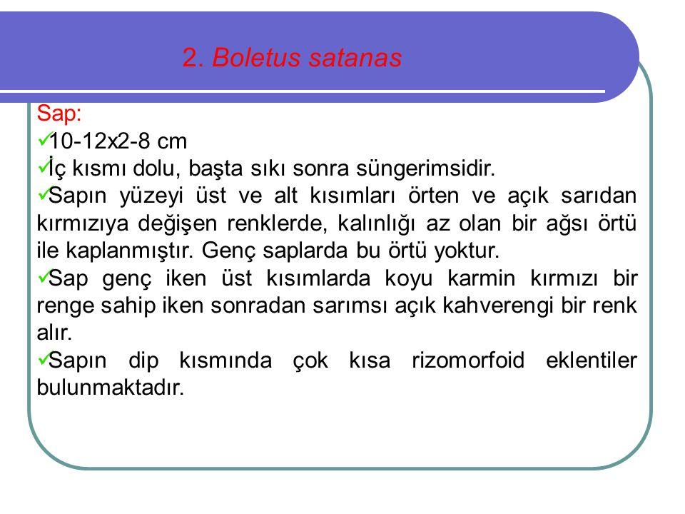 2. Boletus satanas Sap: 10-12x2-8 cm