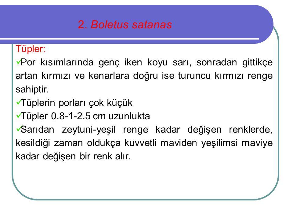 2. Boletus satanas Tüpler: