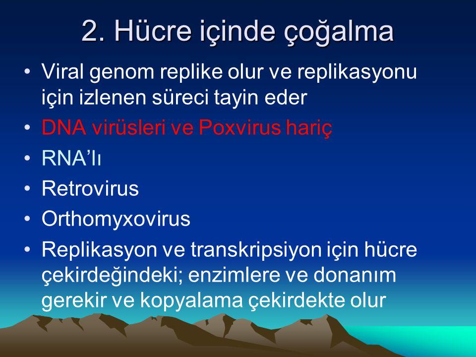 2. Hücre içinde çoğalma Viral genom replike olur ve replikasyonu için izlenen süreci tayin eder. DNA virüsleri ve Poxvirus hariç.