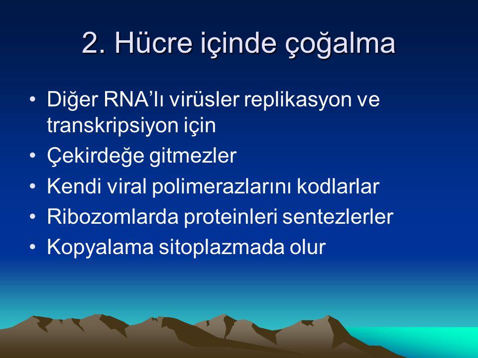 2. Hücre içinde çoğalma Diğer RNA'lı virüsler replikasyon ve transkripsiyon için. Çekirdeğe gitmezler.