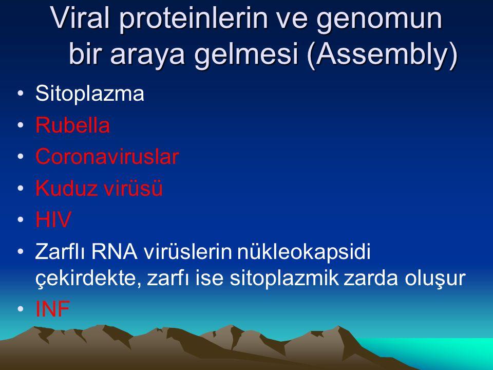 Viral proteinlerin ve genomun bir araya gelmesi (Assembly)