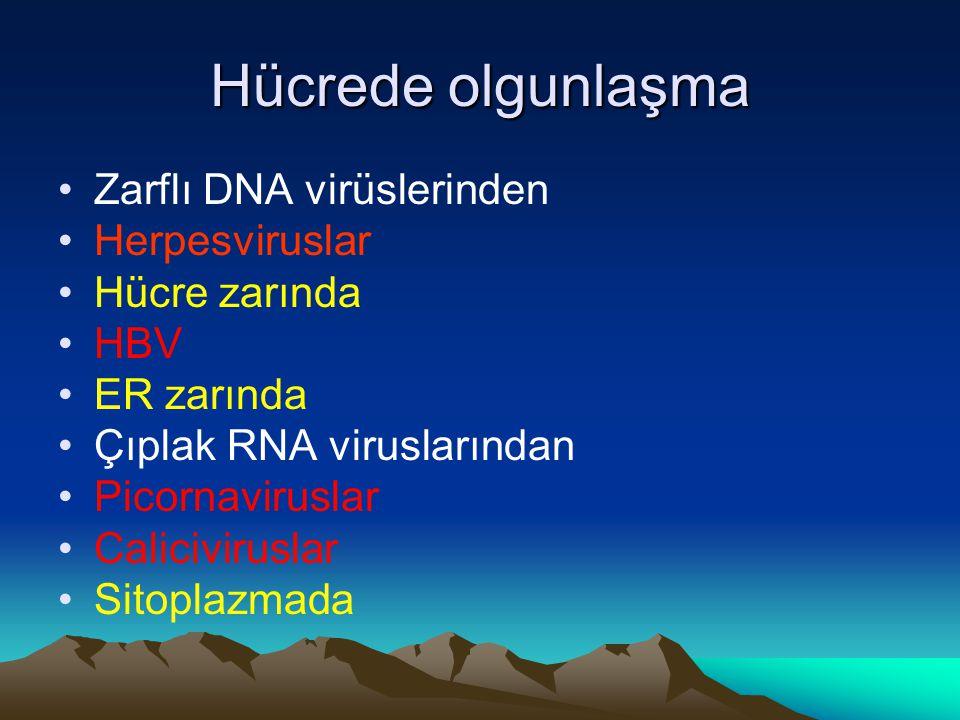 Hücrede olgunlaşma Zarflı DNA virüslerinden Herpesviruslar