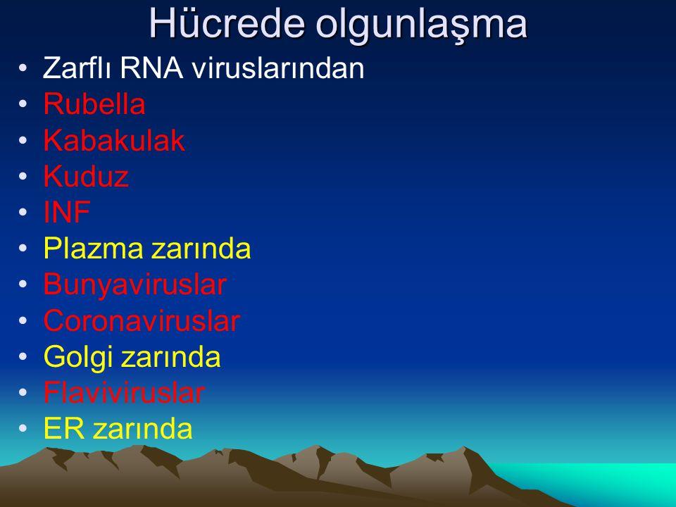 Hücrede olgunlaşma Zarflı RNA viruslarından Rubella Kabakulak Kuduz
