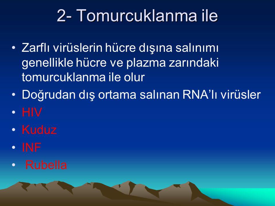 2- Tomurcuklanma ile Zarflı virüslerin hücre dışına salınımı genellikle hücre ve plazma zarındaki tomurcuklanma ile olur.
