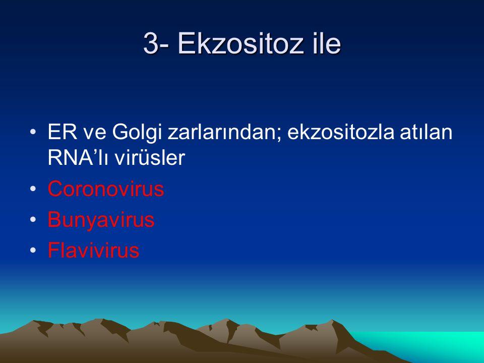 3- Ekzositoz ile ER ve Golgi zarlarından; ekzositozla atılan RNA'lı virüsler. Coronovirus. Bunyavirus.
