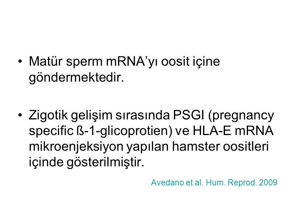 Matür sperm mRNA'yı oosit içine göndermektedir.