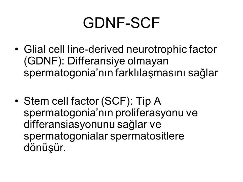 GDNF-SCF Glial cell line-derived neurotrophic factor (GDNF): Differansiye olmayan spermatogonia'nın farklılaşmasını sağlar.