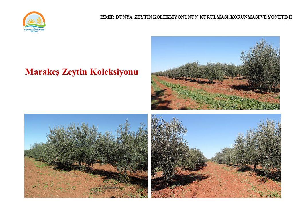 Marakeş Zeytin Koleksiyonu