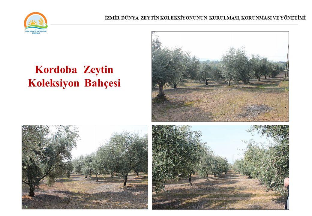 Kordoba Zeytin Koleksiyon Bahçesi
