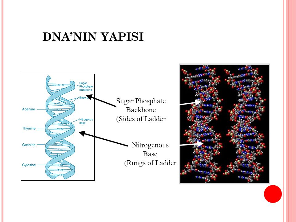 DNA'NIN YAPISI Sugar Phosphate Backbone (Sides of Ladder Nitrogenous
