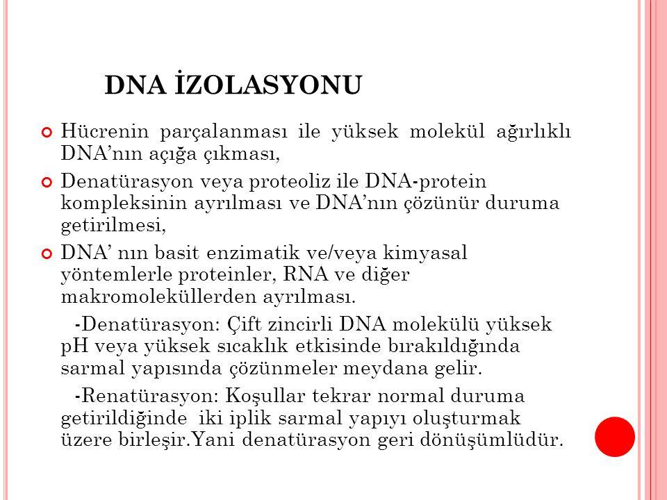 DNA İZOLASYONU Hücrenin parçalanması ile yüksek molekül ağırlıklı DNA'nın açığa çıkması,