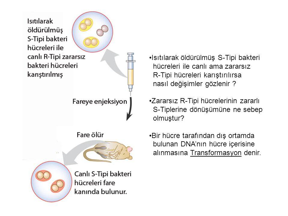 Isıtılarak öldürülmüş S-Tipi bakteri