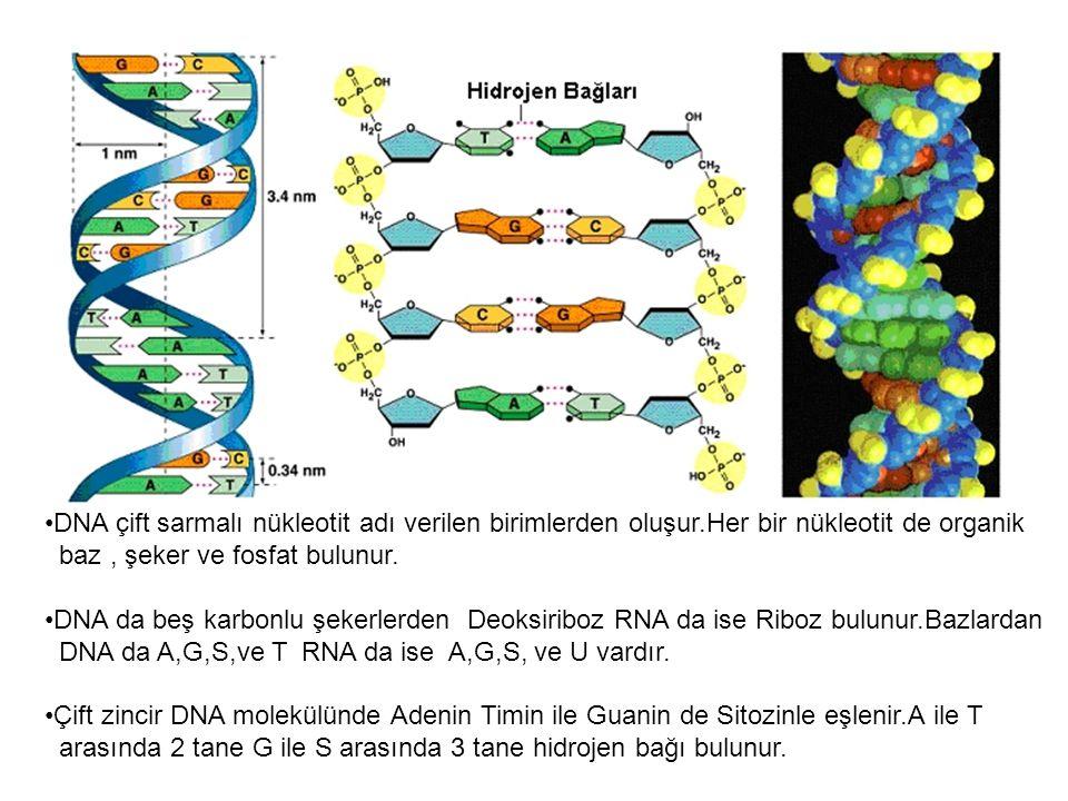 DNA çift sarmalı nükleotit adı verilen birimlerden oluşur